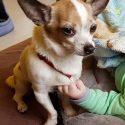 Zagineła suczka rasy Chihuahua